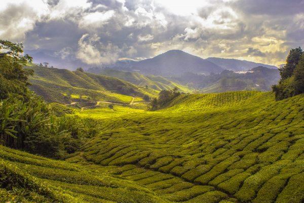 Photo of a tea estate
